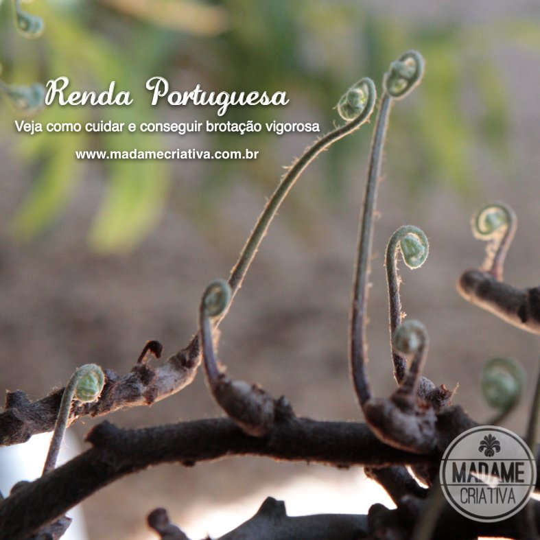 Renda Portuguesa Uma Planta Delicada 3 Pictures to pin on Pinterest